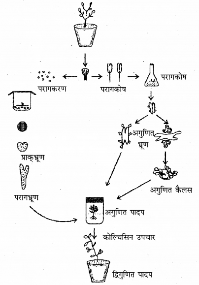 RBSE Solutions for Class 12 Biology Chapter 16 पादप ऊतक संवर्धन 4