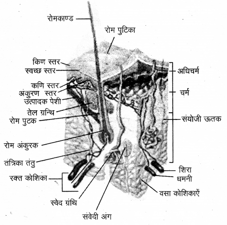 RBSE Solutions for Class 12 Biology Chapter 21 मानव का अध्यावरणी तंत्र