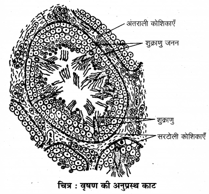 RBSE Solutions for Class 12 Biology Chapter 28 मानव का जनन तंत्र 2