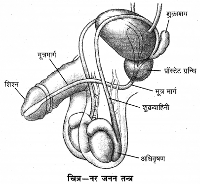 RBSE Solutions for Class 12 Biology Chapter 28 मानव का जनन तंत्र 3