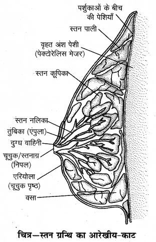 RBSE Solutions for Class 12 Biology Chapter 28 मानव का जनन तंत्र 1