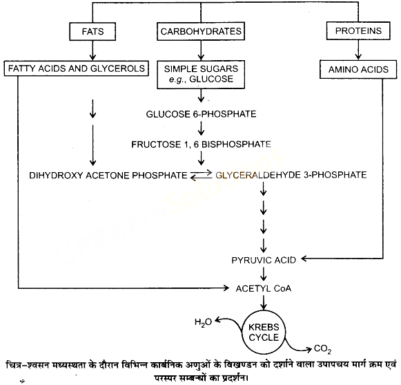 UP Board Solutions for Class 11 Biology Chapter 14 Respiration in Plantsimage 15