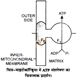 UP Board Solutions for Class 11 Biology Chapter 14 Respiration in Plantsimage 18