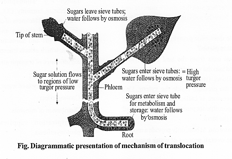 NCERT Solutions for Class 11 Biology Chapter 11 Transport in Plants 8