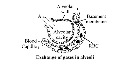 NCERT Solutions for Class 11 Biology Chapter 17 Breathing and Exchange of Gases 1