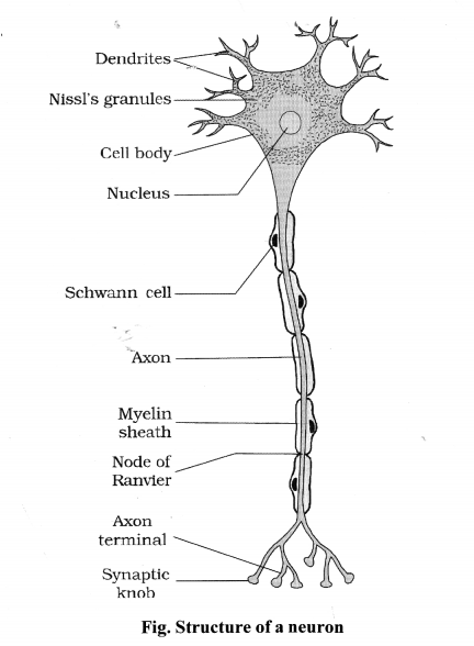 NCERT Solutions for Class 11 Biology Chapter 21 Neural control and co-ordination 6