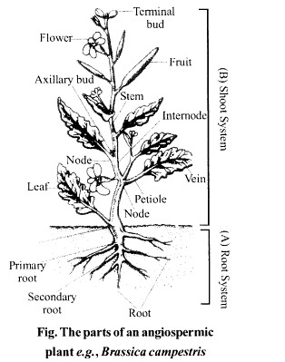 NCERT Solutions for Class 11 Biology Chapter 5 Morphology of Flowering Plants 14