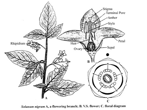 NCERT Solutions for Class 11 Biology Chapter 5 Morphology of Flowering Plants 9