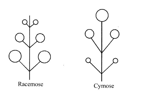 NCERT Solutions for Class 11 Biology Chapter 5 Morphology of Flowering Plants 10