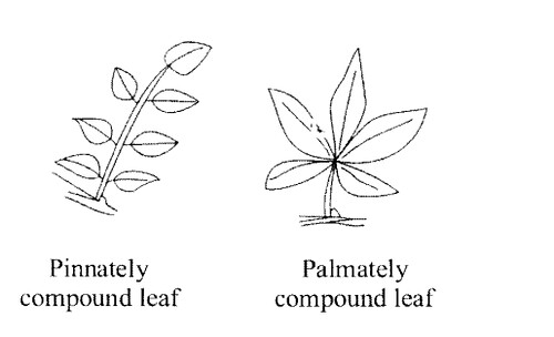 NCERT Solutions for Class 11 Biology Chapter 5 Morphology of Flowering Plants 1